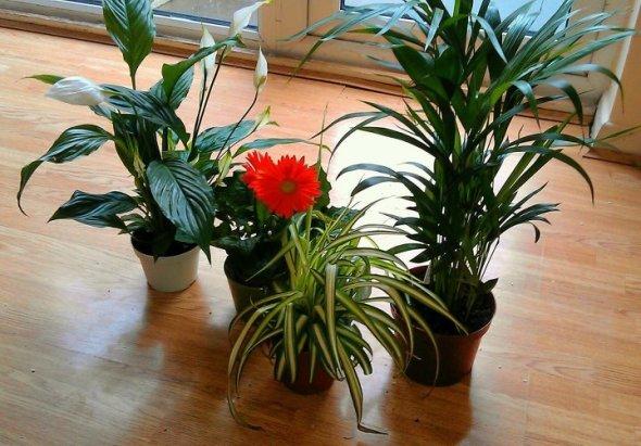 Tlc living air purifying plants tlc naturals blog for Buy air purifying plants